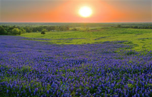Bluebonnets at Sunset